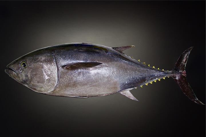 Farm-raised tuna
